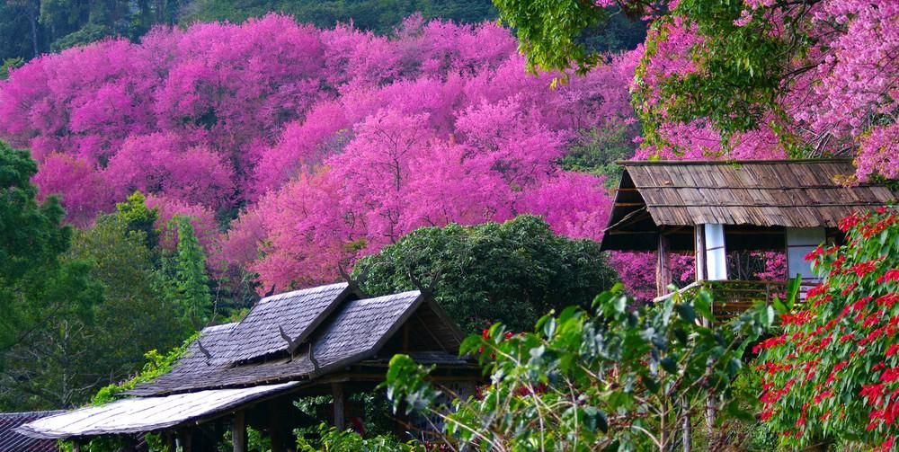 Sakura Trees Doi Pui National Park